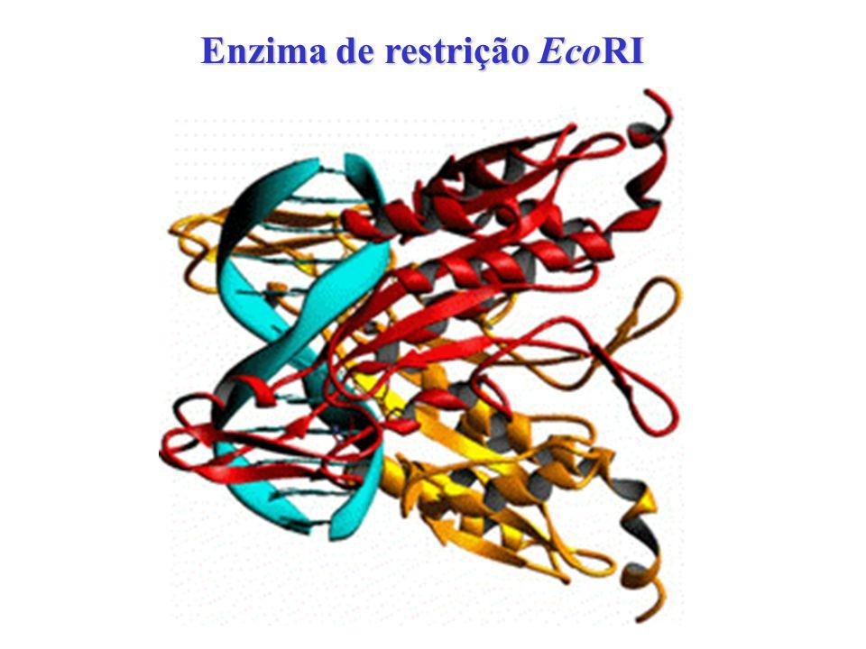 Enzima de restrição EcoRI