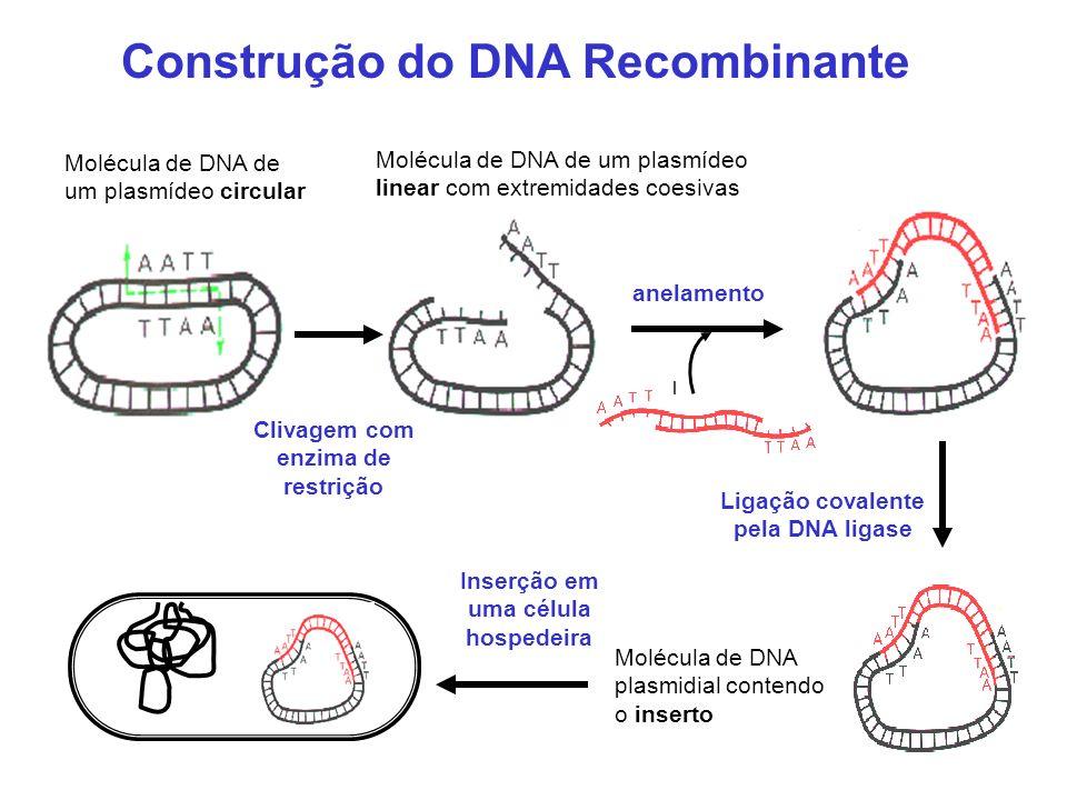 Construção do DNA Recombinante Molécula de DNA de um plasmídeo circular Clivagem com enzima de restrição Molécula de DNA de um plasmídeo linear com ex