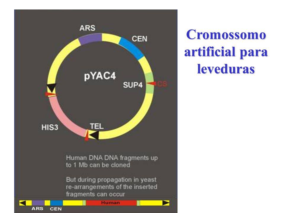 Cromossomo artificial para leveduras