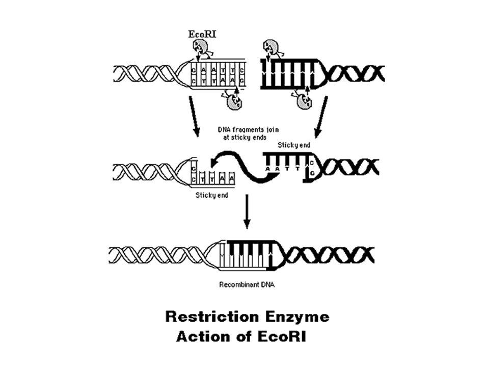 VetoresHospedeirosUtilização Plasmídeos Cosmídeos Virus Bactérias / leveduras clonagem Terapia gênicaCélulas eucarióticas Bacteriófagos