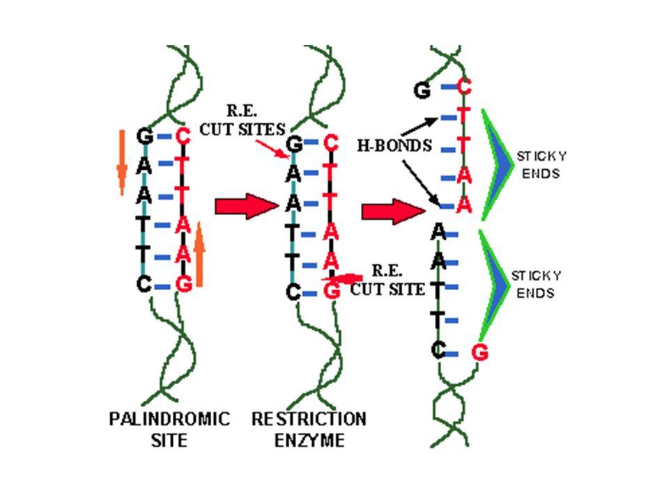 Cortar o DNA com enzimas de restrição Inserir fragmentos em vetores Introduzir vetores em bactérias por: eletroporação ou choque térmico Fragmento 1 Fragmento 2 Fragmento 3 Fragmento 4