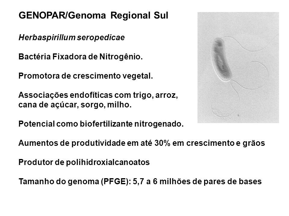 Maria Aparecida Fernandez- DBC - UEM GENOPAR/Genoma Regional Sul Herbaspirillum seropedicae Bactéria Fixadora de Nitrogênio. Promotora de crescimento
