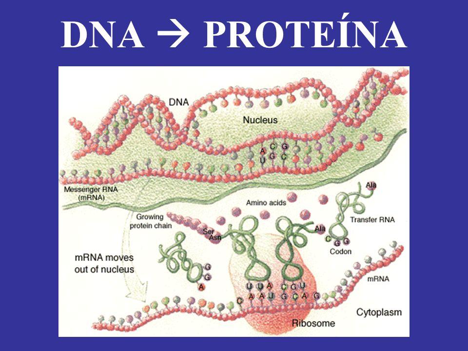 DNA PROTEÍNA