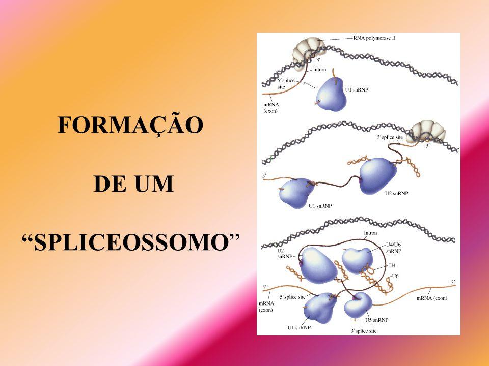 FORMAÇÃO DE UM SPLICEOSSOMO