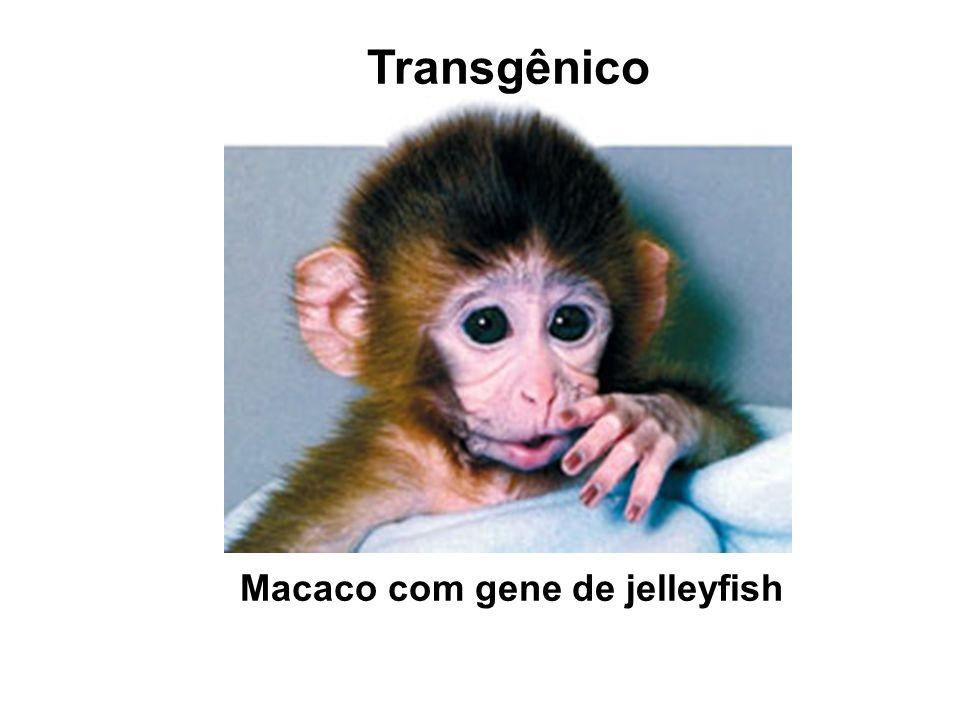 Transgênico Macaco com gene de jelleyfish