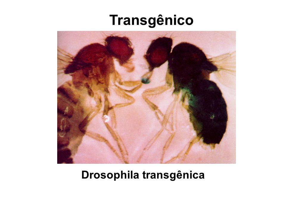 Transgênico Drosophila transgênica