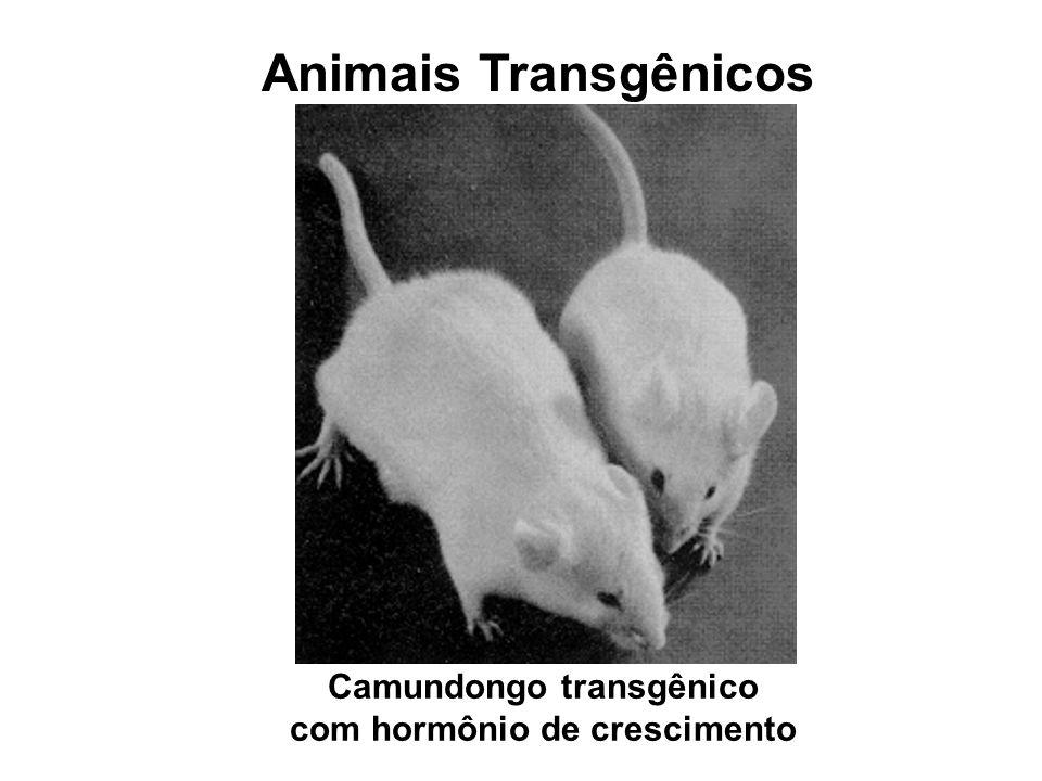 Animais Transgênicos Camundongo transgênico com hormônio de crescimento