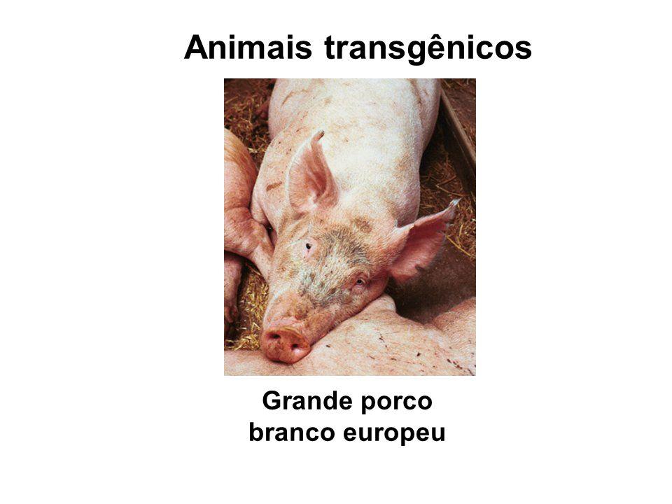 Animais transgênicos Grande porco branco europeu