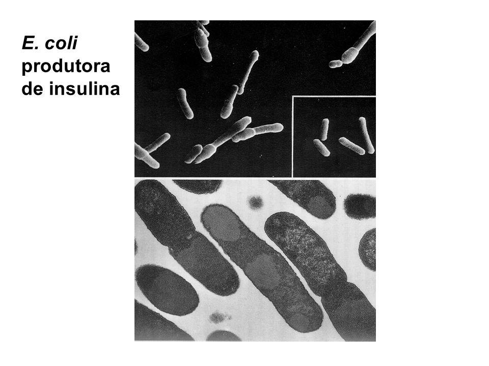 E. coli produtora de insulina