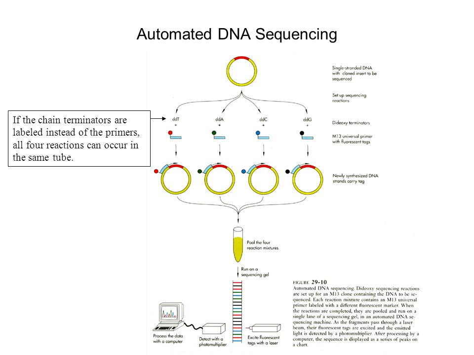 Automated DNA Sequencing If the chain terminators are labeled instead of the primers, all four reactions can occur in the same tube.