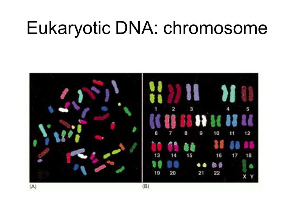 Eukaryotic DNA: chromosome