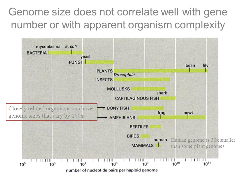 Genome size does not correlate well with gene number or with apparent organism complexity Closely related organisms can have genome sizes that vary by 100x Human genome is 30x smaller than some plant genomes
