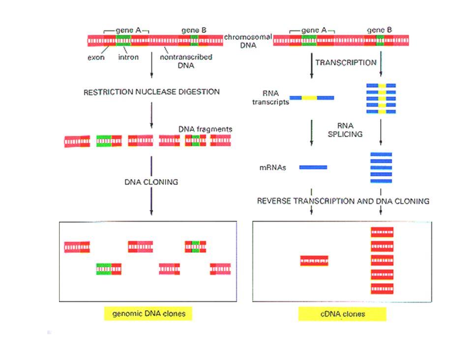 5...ATCGGTACCAGGCTCCTCAGAGT...3 3...TAGCCATGGTCCGAGGAGTCTCA...5 Seqüênciamento do genoma por shotgun Genoma aberto Clonagem e seqüênciamento Alinhamento dos clones Genoma seqüênciado Clones shotgun Bioinformática