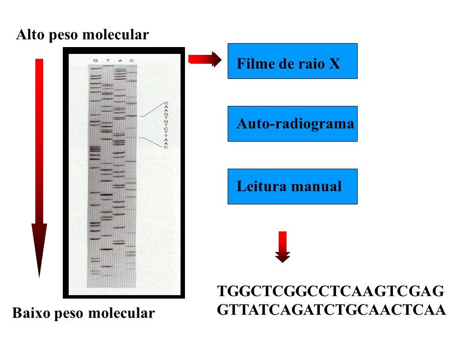 TGGCTCGGCCTCAAGTCGAG GTTATCAGATCTGCAACTCAA Alto peso molecular Baixo peso molecular Filme de raio X Auto-radiogramaLeitura manual