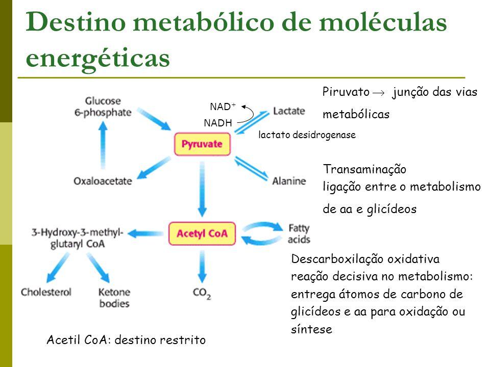 Destino metabólico de moléculas energéticas Piruvato  junção das vias metabólicas lactato desidrogenase NADH NAD + Transaminação ligação entre o meta
