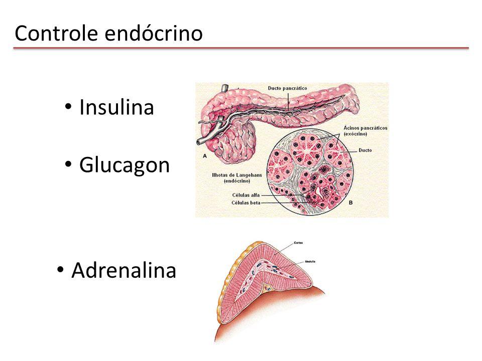 Controle endócrino Insulina Glucagon Adrenalina
