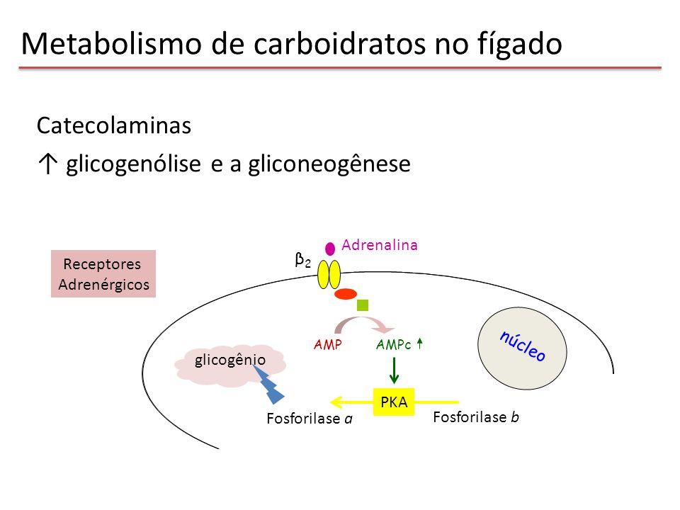 núcleo AMPAMPc β2β2 Receptores Adrenérgicos PKA Fosforilase b Fosforilase a glicogênio Adrenalina Catecolaminas ↑ glicogenólise e a gliconeogênese Met