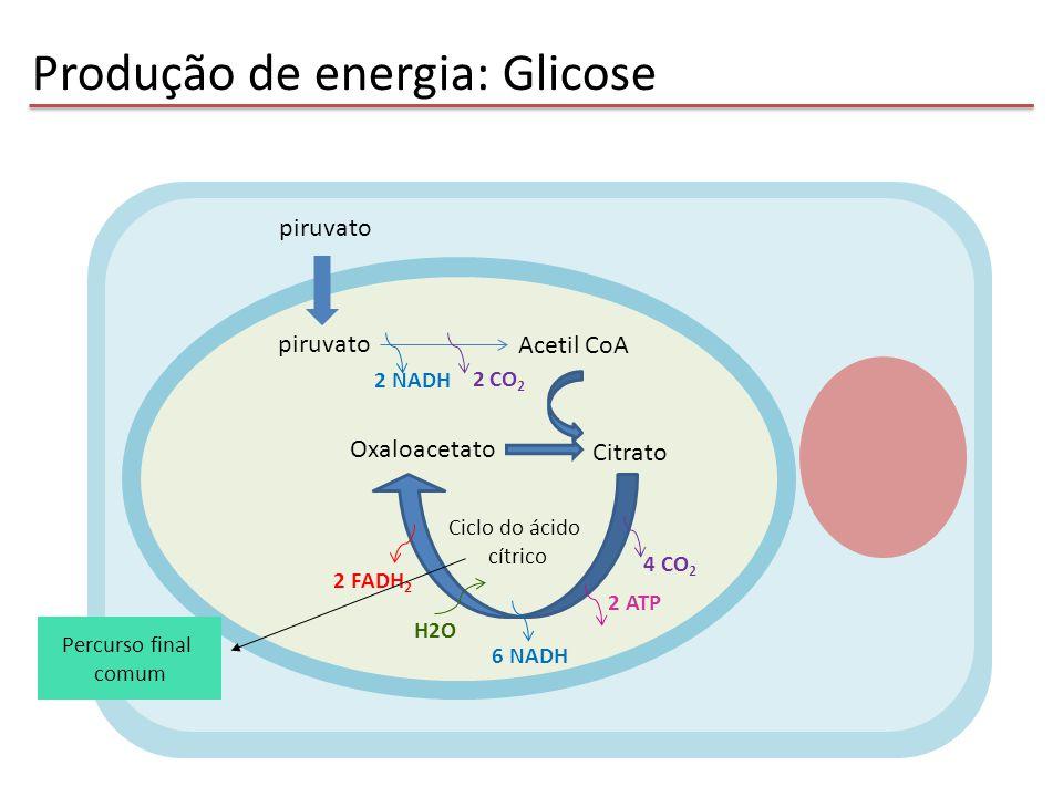 Produção de energia: Glicose piruvato Acetil CoA piruvato 2 NADH 2 CO 2 Oxaloacetato Citrato Ciclo do ácido cítrico 4 CO 2 6 NADH 2 FADH 2 2 ATP H2O P
