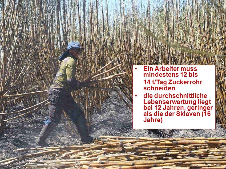 Ein Arbeiter muss mindestens 12 bis 14 t/Tag Zuckerrohr schneiden die durchschnittliche Lebenserwartung liegt bei 12 Jahren, geringer als die der Sklaven (16 Jahre)