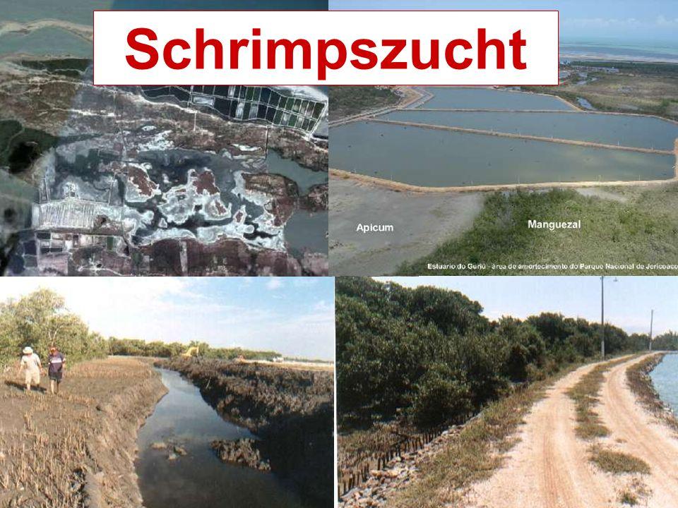 Bloqueio das trocas laterais, impermeabilização do solo, salinização do aqüífero e extinção do apicum Schrimpszucht