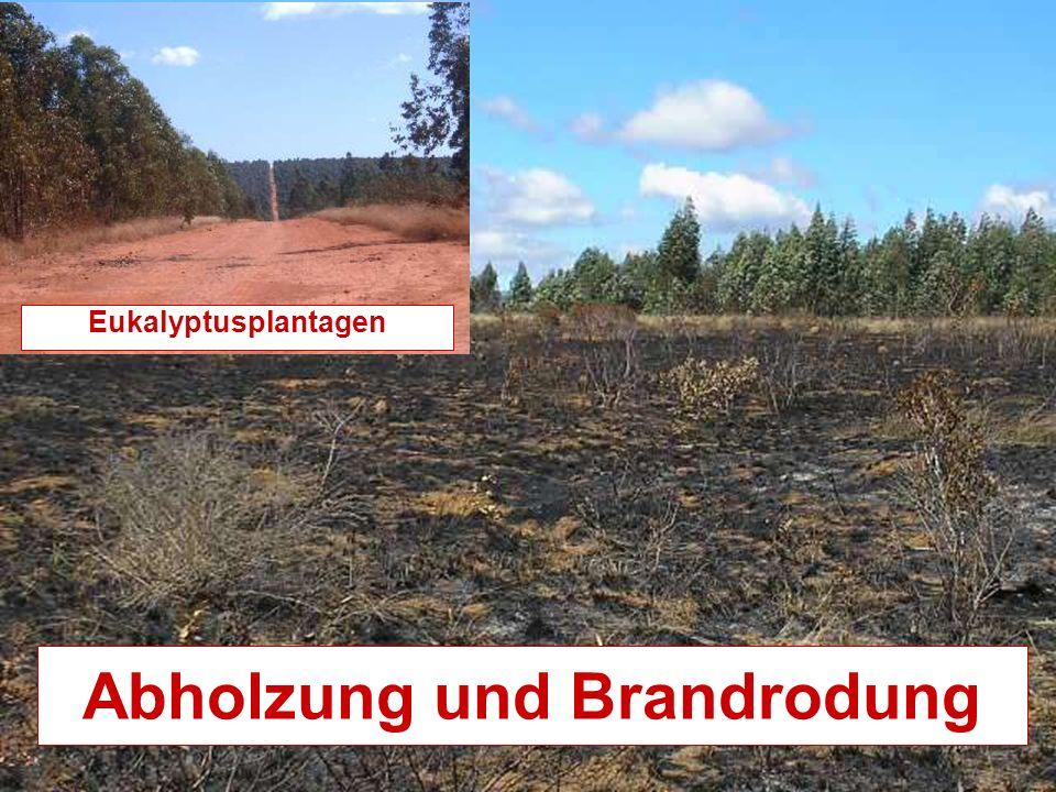 Abholzung und Brandrodung Eukalyptusplantagen