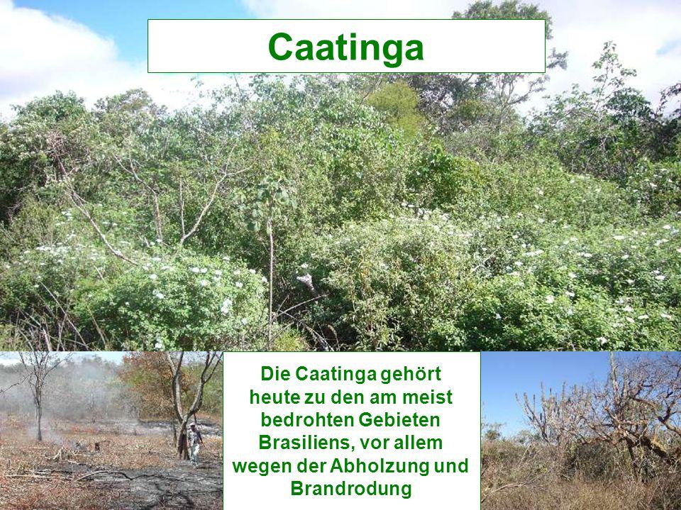 Die Caatinga gehört heute zu den am meist bedrohten Gebieten Brasiliens, vor allem wegen der Abholzung und Brandrodung Caatinga
