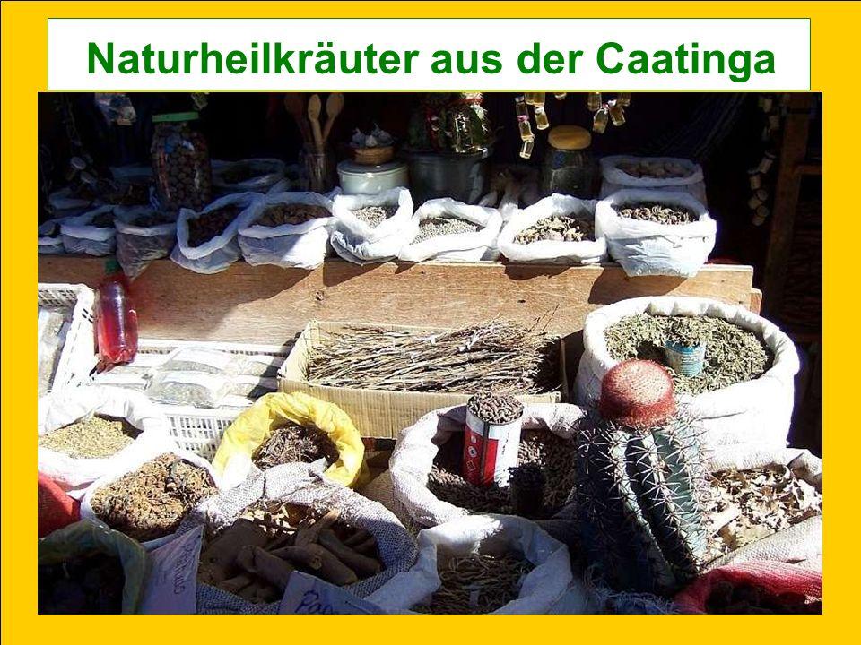 Naturheilkräuter aus der Caatinga