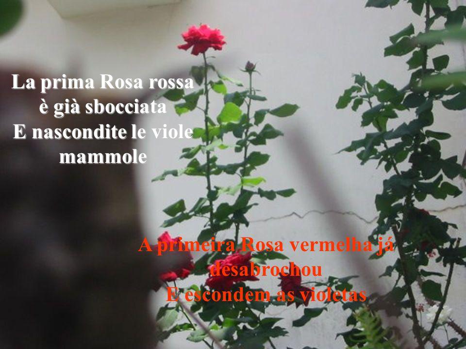 La prima Rosa rossa è già sbocciata E nascondite le viole mammole A primeira Rosa vermelha já desabrochou E escondem as violetas