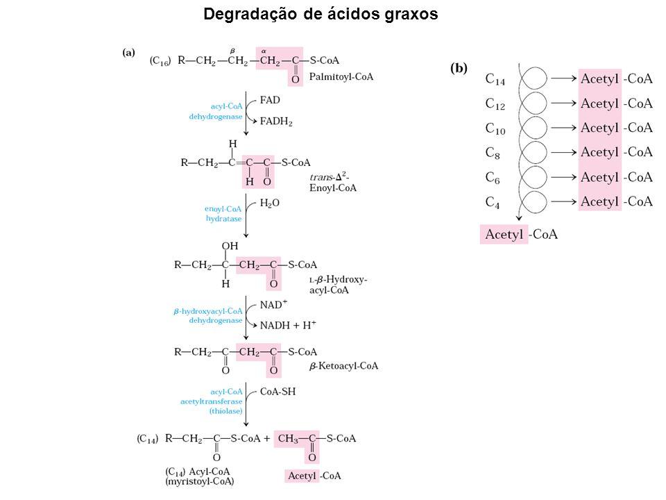 Degradação de ácidos graxos
