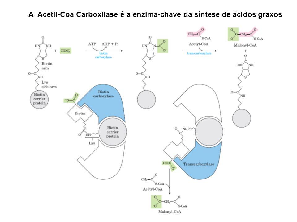 A Acetil-Coa Carboxilase é a enzima-chave da síntese de ácidos graxos
