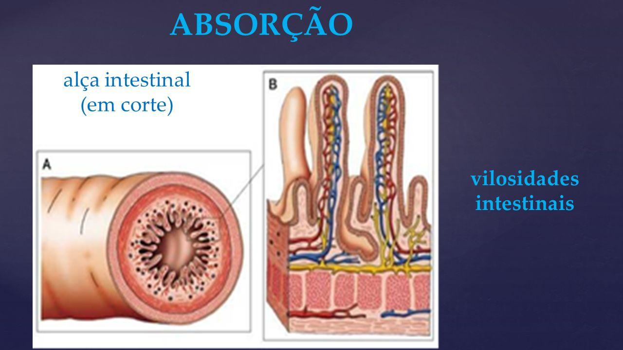 ABSORÇÃO alça intestinal (em corte) vilosidades intestinais