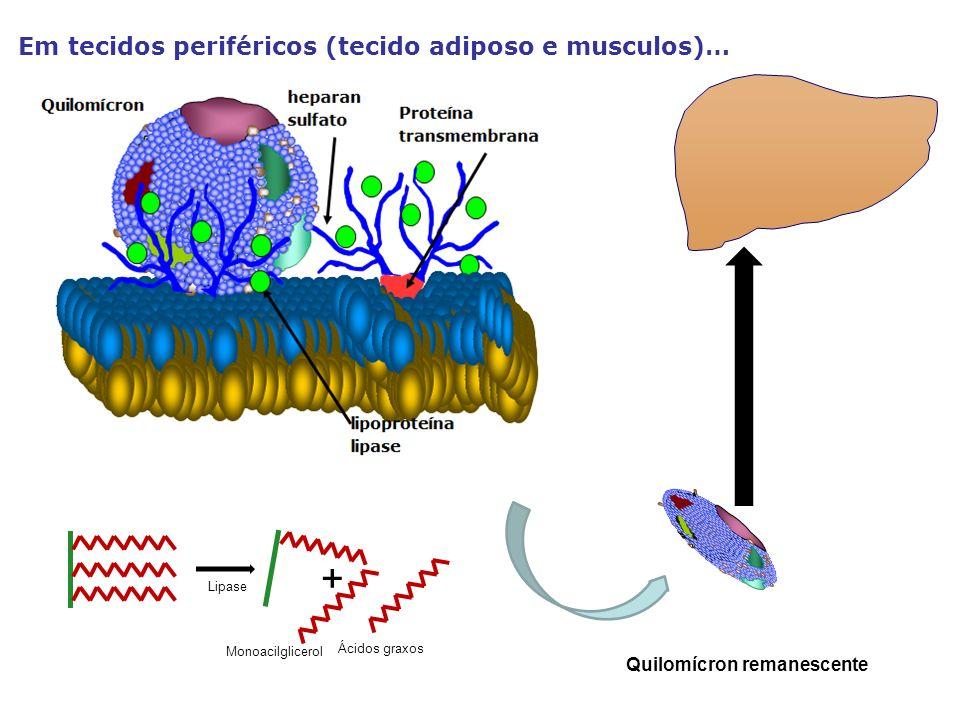 Em tecidos periféricos (tecido adiposo e musculos)… Quilomícron remanescente Ácidos graxos Monoacilglicerol + Lipase