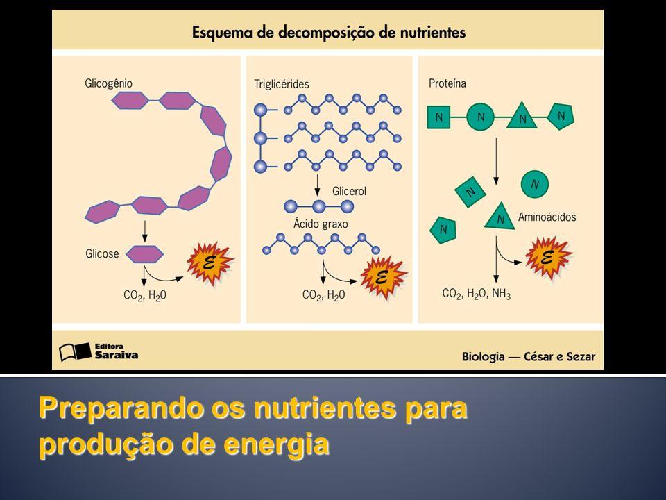 Preparando os nutrientes para produção de energia