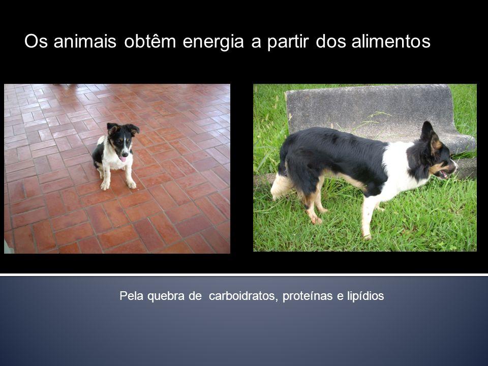Os animais obtêm energia a partir dos alimentos Pela quebra de carboidratos, proteínas e lipídios