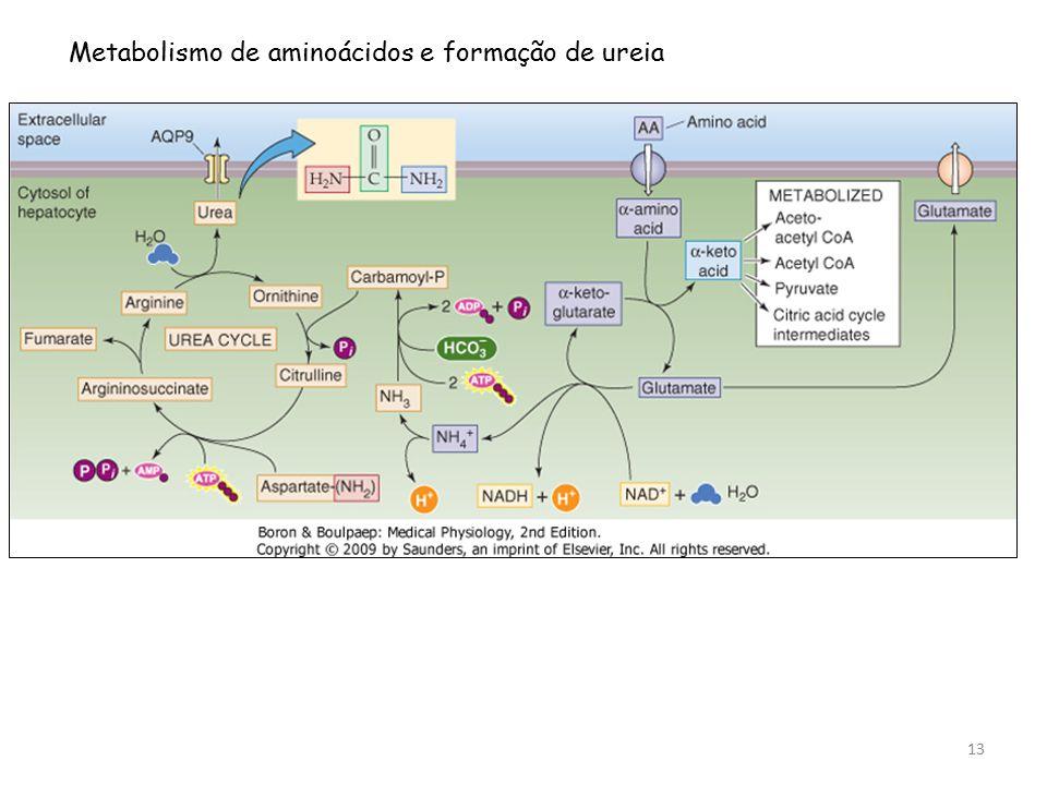 Metabolismo de aminoácidos e formação de ureia 13