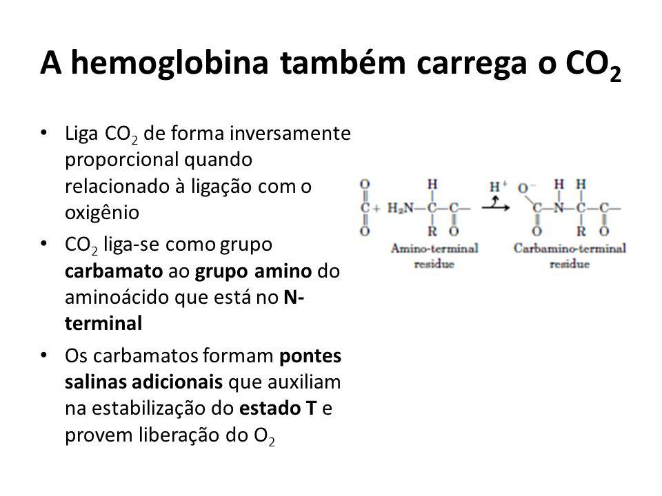 A hemoglobina também carrega o CO 2 Liga CO 2 de forma inversamente proporcional quando relacionado à ligação com o oxigênio CO 2 liga-se como grupo c