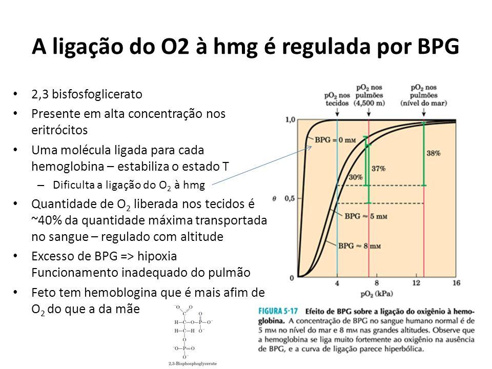 A ligação do O2 à hmg é regulada por BPG 2,3 bisfosfoglicerato Presente em alta concentração nos eritrócitos Uma molécula ligada para cada hemoglobina