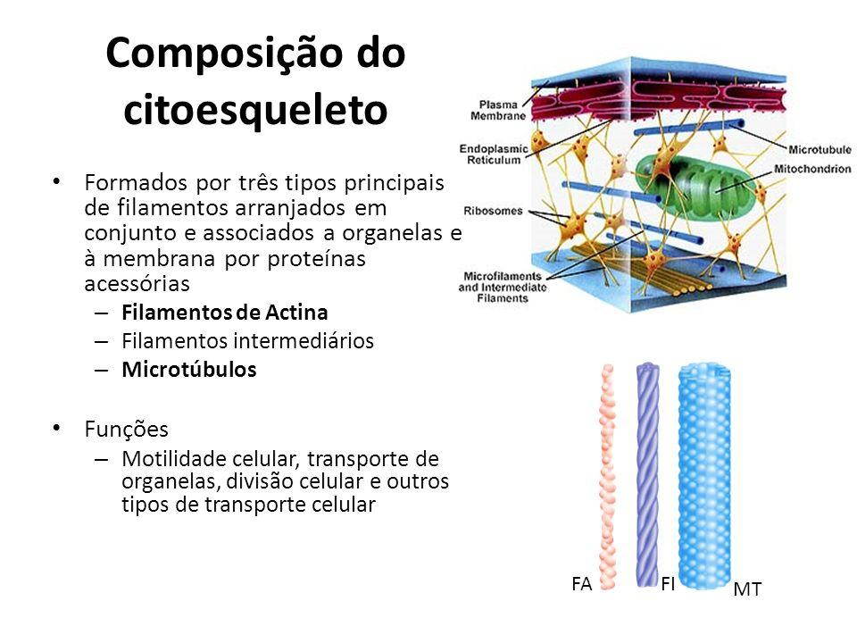 Composição do citoesqueleto Formados por três tipos principais de filamentos arranjados em conjunto e associados a organelas e à membrana por proteína