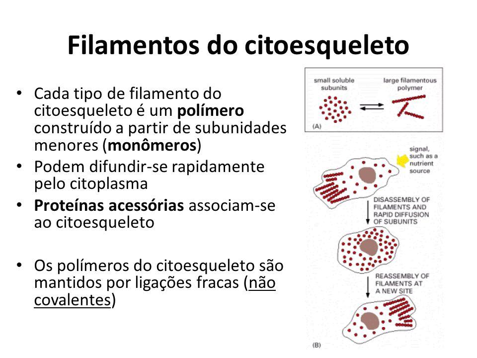 Filamentos do citoesqueleto Cada tipo de filamento do citoesqueleto é um polímero construído a partir de subunidades menores (monômeros) Podem difundir-se rapidamente pelo citoplasma Proteínas acessórias associam-se ao citoesqueleto Os polímeros do citoesqueleto são mantidos por ligações fracas (não covalentes)