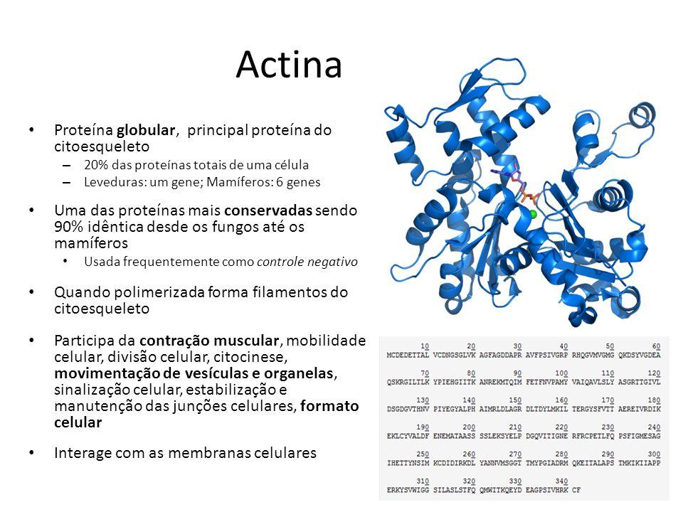 Actina Proteína globular, principal proteína do citoesqueleto – 20% das proteínas totais de uma célula – Leveduras: um gene; Mamíferos: 6 genes Uma da