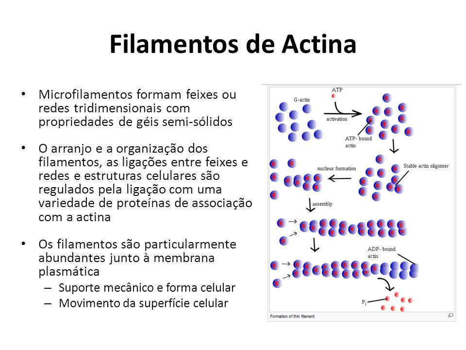 Filamentos de Actina Microfilamentos formam feixes ou redes tridimensionais com propriedades de géis semi-sólidos O arranjo e a organização dos filame