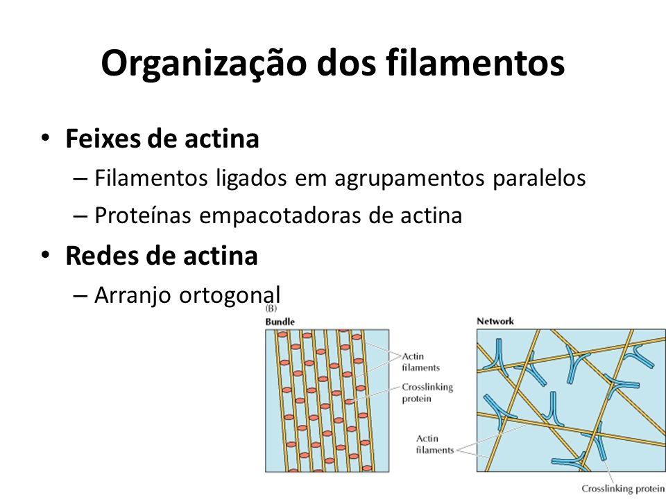 Organização dos filamentos Feixes de actina – Filamentos ligados em agrupamentos paralelos – Proteínas empacotadoras de actina Redes de actina – Arran