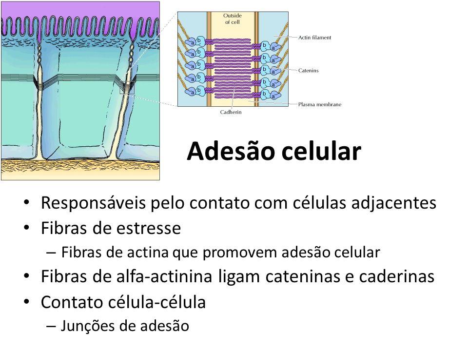 Adesão celular Responsáveis pelo contato com células adjacentes Fibras de estresse – Fibras de actina que promovem adesão celular Fibras de alfa-actin