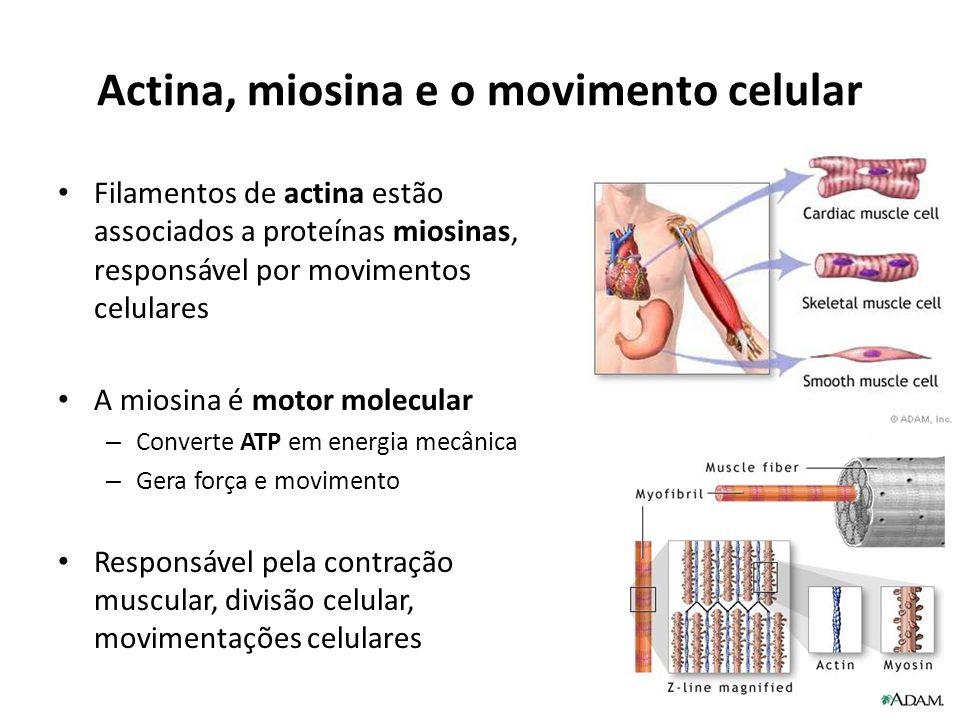 Actina, miosina e o movimento celular Filamentos de actina estão associados a proteínas miosinas, responsável por movimentos celulares A miosina é mot
