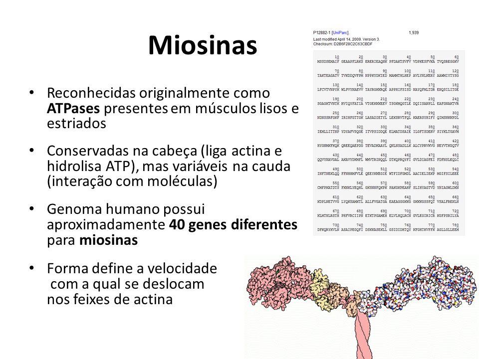 Miosinas Reconhecidas originalmente como ATPases presentes em músculos lisos e estriados Conservadas na cabeça (liga actina e hidrolisa ATP), mas vari