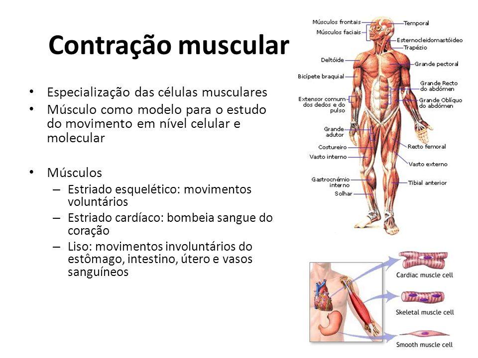 Contração muscular Especialização das células musculares Músculo como modelo para o estudo do movimento em nível celular e molecular Músculos – Estria