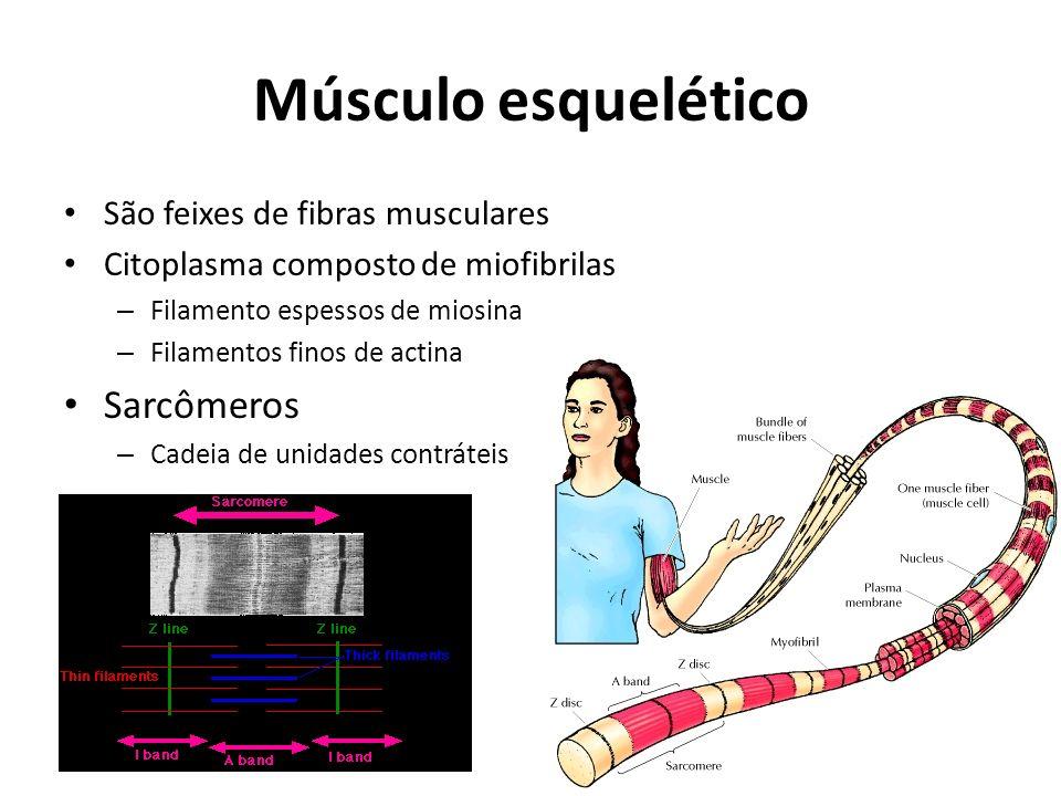 Músculo esquelético São feixes de fibras musculares Citoplasma composto de miofibrilas – Filamento espessos de miosina – Filamentos finos de actina Sarcômeros – Cadeia de unidades contráteis