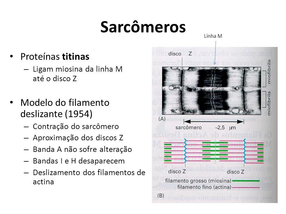 Sarcômeros Proteínas titinas – Ligam miosina da linha M até o disco Z Modelo do filamento deslizante (1954) – Contração do sarcômero – Aproximação dos