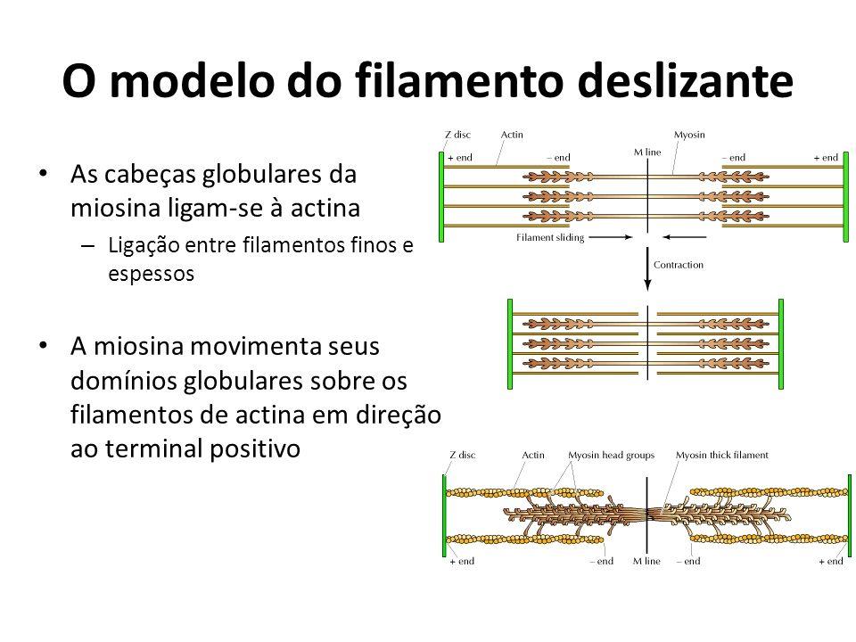 O modelo do filamento deslizante As cabeças globulares da miosina ligam-se à actina – Ligação entre filamentos finos e espessos A miosina movimenta se