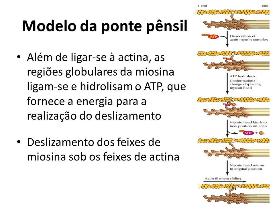 Modelo da ponte pênsil Além de ligar-se à actina, as regiões globulares da miosina ligam-se e hidrolisam o ATP, que fornece a energia para a realizaçã